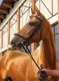Thoroughbred biegowy koń w padoku zdjęcie royalty free