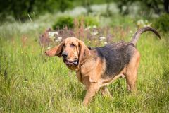 Thoroughbred Bloodhound dog. Has fun outdoors at summer day stock photos