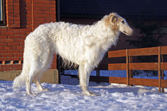 Thoroughbred borzoi dog. Russian borzoi dog - very courageous and fast hunting dog. Works on a hare, the fox and even the wolf royalty free stock photo