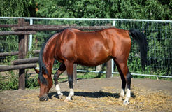 Thoroughbred brood horse in paddock Stock Photography
