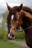 Thoroughbred brood horse in paddock Royalty Free Stock Photo