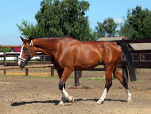Thoroughbred brood horse in paddock Royalty Free Stock Photography