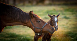 Thoroughbred broodmare greeting her newborn foal. Thoroughbred broodmare greeting her newborn filly foal for the first time royalty free stock image