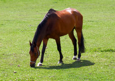 A thoroughbred brown horse. A thoroughbred horse graze in a field of green grass Royalty Free Stock Image