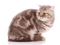 Thoroughbred Brytyjski prosty kot na białym tle pet zdjęcia royalty free