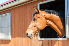 Thoroughbred chestnut color horse portrait. Outdoors image. Royalty Free Stock Photography
