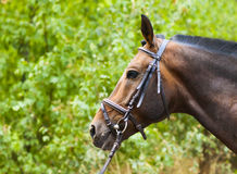 Thoroughbred chestnut horse Royalty Free Stock Images