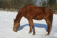Thoroughbred chestnut stllion try grazing frozen winter day Stock Photography