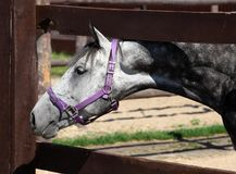 Thoroughbred dapple grey horse against corral al. Thoroughbred dapple grey horse against corral wooden fence background Royalty Free Stock Images