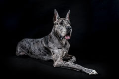 Thoroughbred dog a gray marble Great Dane Royalty Free Stock Photos