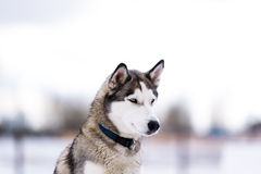 Thoroughbred dog similar to a wolf. Royalty Free Stock Photos