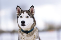 Thoroughbred dog similar to a wolf. Stock Photo