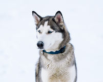 Thoroughbred dog similar to a wolf. Royalty Free Stock Image