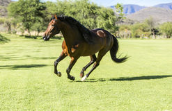 Thoroughbred dziki koń Obraz Royalty Free