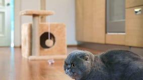 Thoroughbred fałdu Szkocki kot zbiory wideo