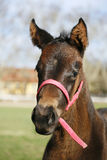 Thoroughbred filly posing on pasture springtime Royalty Free Stock Images