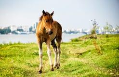 Thoroughbred foal που στέκεται μόνο στο λιβάδι την άνοιξη Στοκ Εικόνες