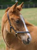 Thoroughbred Foal Royalty Free Stock Photos