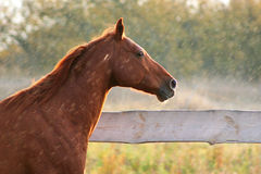 Thoroughbred gelding redhead Royalty Free Stock Image
