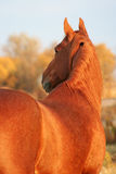 Thoroughbred gelding redhead Stock Image
