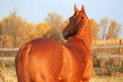 Thoroughbred gelding redhead Stock Images
