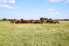 Thoroughbred gidran foals και φοράδων βοσκή ειρηνική μαζί στο λιβάδι στοκ φωτογραφίες με δικαίωμα ελεύθερης χρήσης