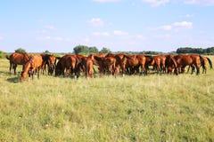 Thoroughbred gidran foals και φοράδων βοσκή ειρηνική μαζί στο λιβάδι στοκ φωτογραφίες