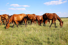 Thoroughbred gidran foals and mares grazing peaceful together on meadow Royalty Free Stock Photography
