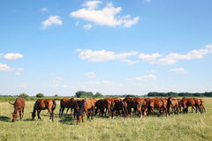 Thoroughbred gidran horses eating fresh greengrass on the hungarian meadow Royalty Free Stock Photo