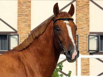 Thoroughbred race horse in paddock Royalty Free Stock Photo
