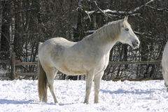 Thoroughbred gray horse in winter corral Stock Photography