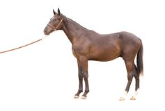 Thoroughbred horse. In a farm of beijing Royalty Free Stock Image