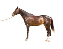 Thoroughbred horse Royalty Free Stock Image
