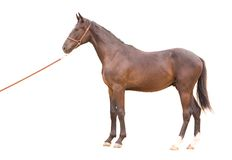 Thoroughbred horse. In a farm of beijing Royalty Free Stock Images
