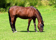 A thoroughbred horse. Graze in a field of green grass Royalty Free Stock Photo
