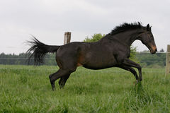 Thoroughbred horse. Wild English thoroughbred horse on running a meadow Stock Photo