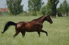 Thoroughbred horse. On the grass Royalty Free Stock Photos