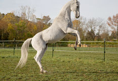 Thoroughbred Horse. White Thoroughbred Horse Rearing Up Stock Photos