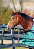 Thoroughbred horse. Outside in horse farm royalty free stock photography