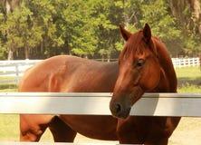 Thoroughbred Horse. Chestnut thoroughbred horse behind white fence Stock Photos