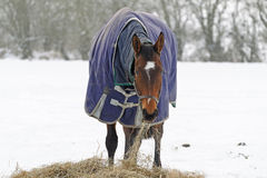 Thoroughbred Horse Eating Hay in Snow Royalty Free Stock Images