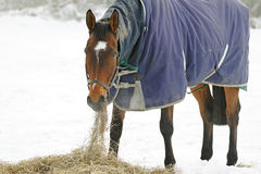 Thoroughbred Horse Eating Hay in Snow. Thoroughbred horse eating hay in a snow covered paddock Royalty Free Stock Photos
