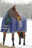 Thoroughbred Horse Eating Hay in Snow Stock Image
