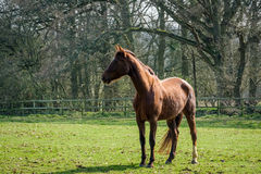 Thoroughbred Horse. Enjoying the Spring Sunshine Royalty Free Stock Photos