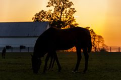 Thoroughbred Horse on Farm - Bluegrass - Central Kentucky. A sunset view of a thoroughbred horse on a farm at sunset in the Bluegrass region of central Kentucky Stock Image