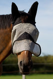Thoroughbred Horse in a Fly Mask Royalty Free Stock Photography