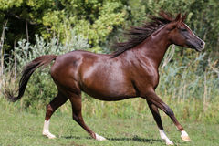 Thoroughbred horse galloping across a green summer pasture Stock Photo