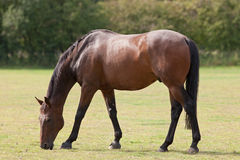 Thoroughbred Horse Grazing. A Thoroughbred horse grazing in a paddock Stock Photography