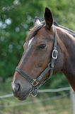 Thoroughbred Horse with Halter Stock Photo