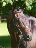 Thoroughbred Horse Head Shot Royalty Free Stock Photo